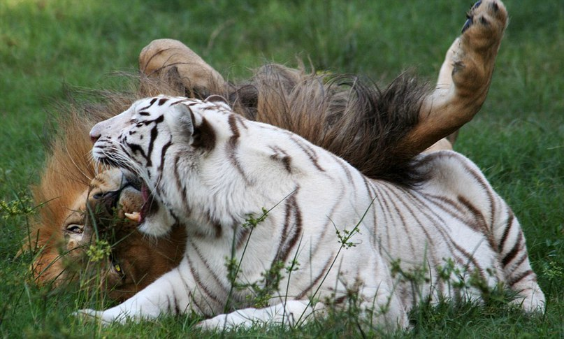 Картинки белого льва и тигра