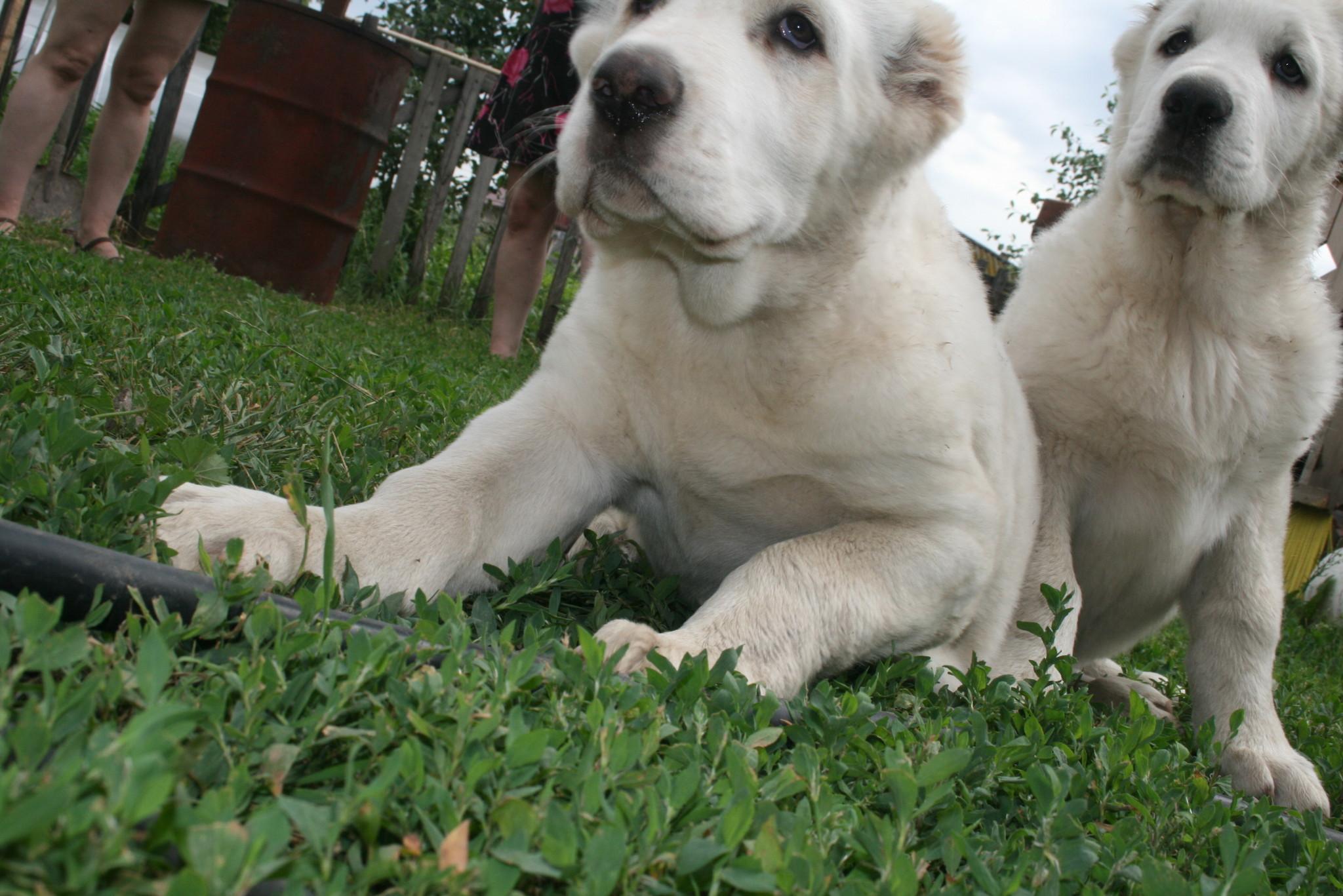 щенки собаки породы азербайджанский гурдбасар