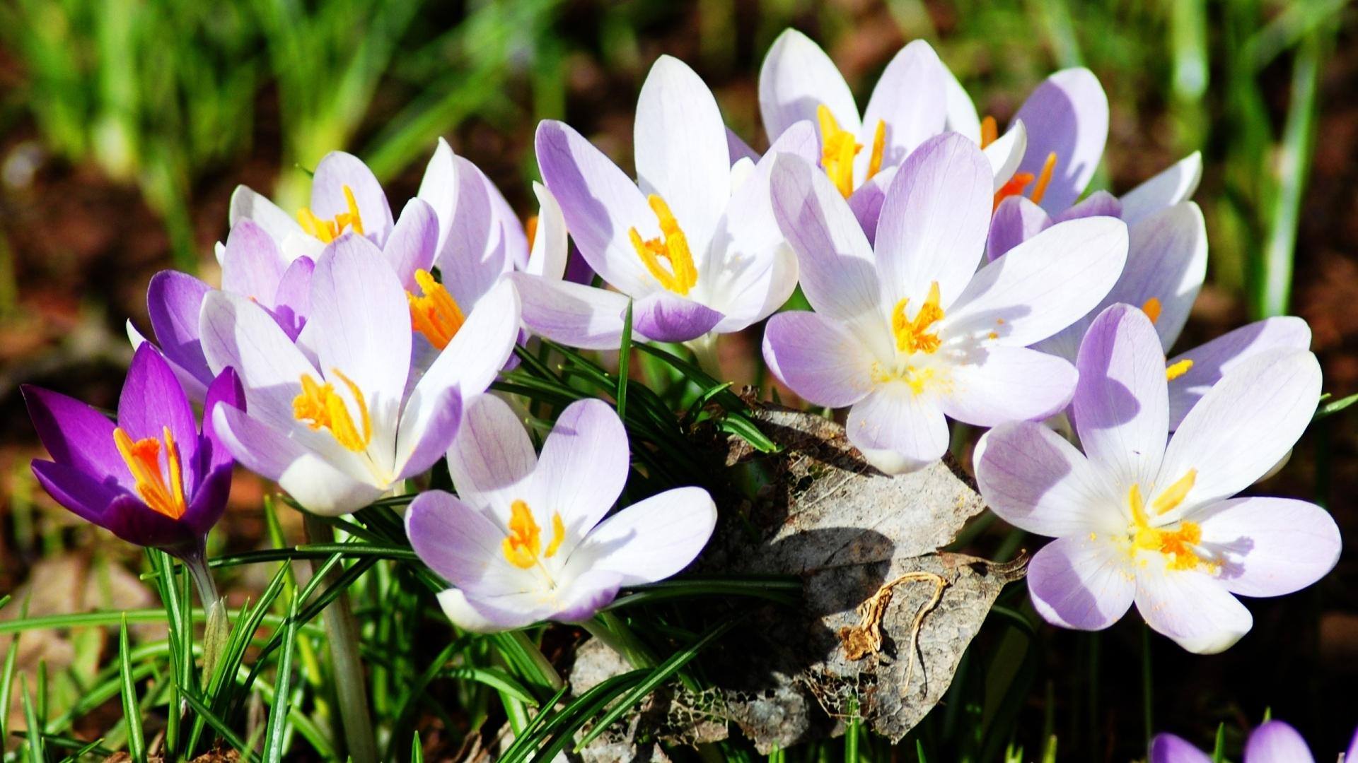 Картинки про весенние цветы